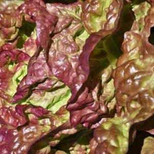 lollo rosso, cut salad, lettuce