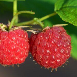 raspberry, fruit, berry